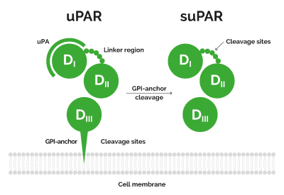 Schematic representation of uPA receptor. The GPI-anchor links uPAR to the cell membrane making it available for uPA to bind to the receptor (1 A). When the receptor is cleaved between the GPI-anchor and D3, it becomes soluble (suPAR) (1 B). suPAR is a stable protein that can be measured in various body fluids. uPAR: uPA receptor, suPAR: soluble uPAR, 1: Domain 1, D2: Domain 2, D3: Domain